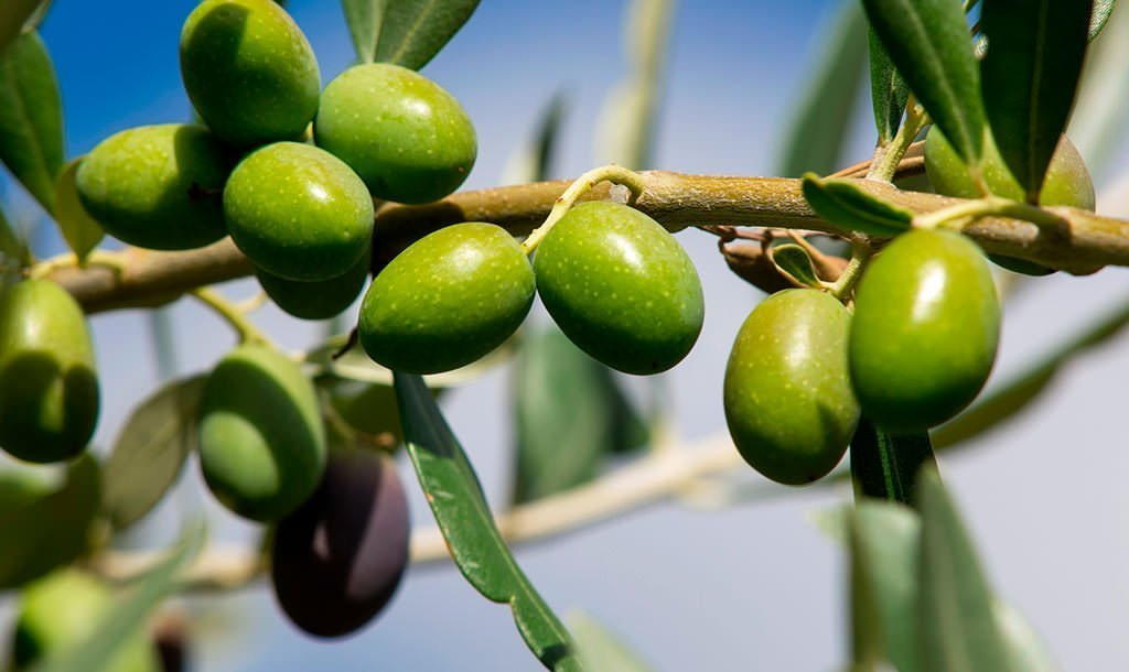 chi ama le olive