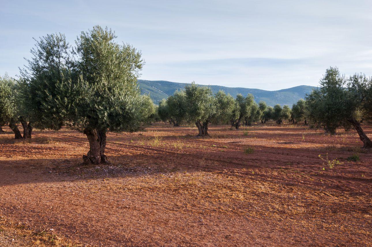 Les meilleurs facteurs pédoclimatiques pour la culture de l'olivier